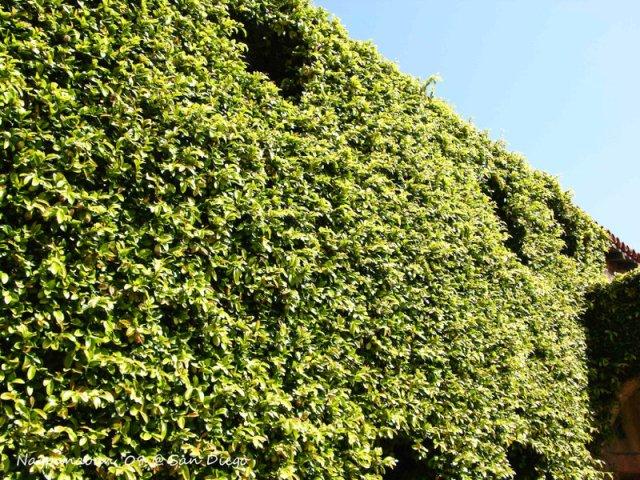 San Juan de Capistrano - vine covered wall