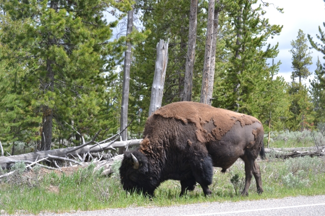 We were happy at our first sight of a bison - we thought very lucky already