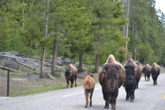 and then there was a bison jam