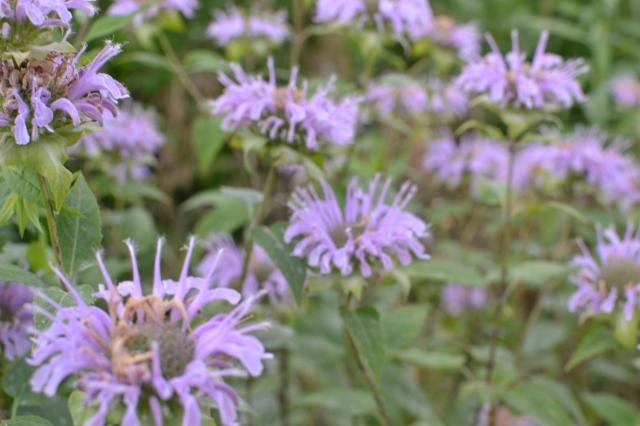 Lilac colored Monardas