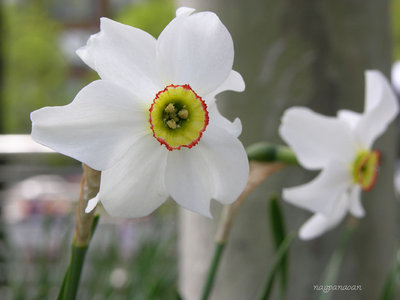 A daffodil, more  beautiful for its simplicity