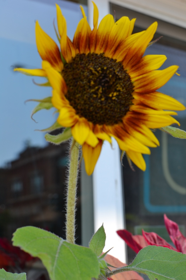 A sunflower in the window