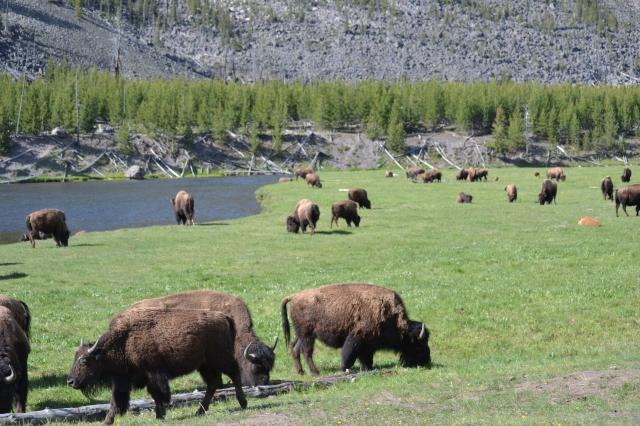 Buffaloes roam wild in Yellowstone