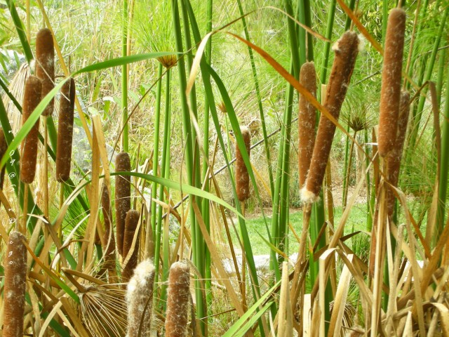 Cat tails.  I love them for their simplicity.