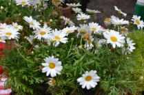 Shasta daisy for sale