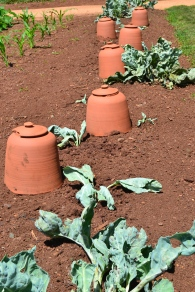 I was curious about this - they are to protect the white Mediterranean kale