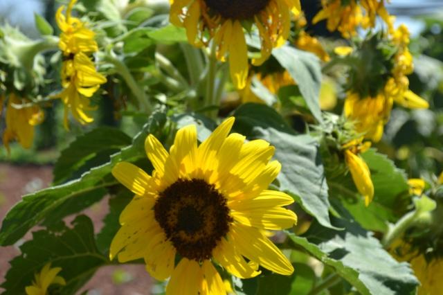Frayed sunflower