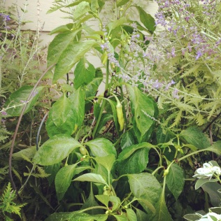 Hungarian pepper shares a spot with some flowers